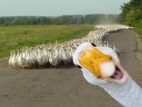 Маразм не лечится: сотрудник Россельхознадзора получил выговор за то, что он использовал неверный метод уничтожения гусей