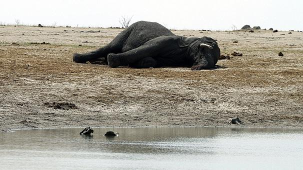 Зимбабве выставляет на продажу диких животных, чтобы спасти их от засухи (видео)