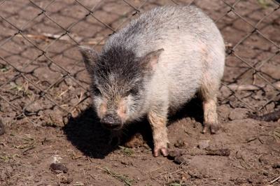 Даже свиньи моют еду перед едой
