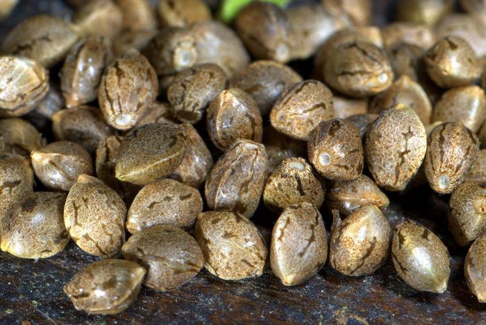 Семена марихуаны: пищевая ценность и область применения