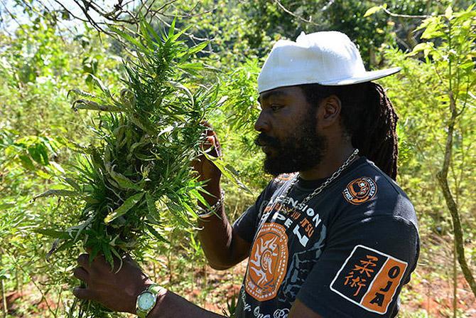 Власти Ямайки легализовали марихуану