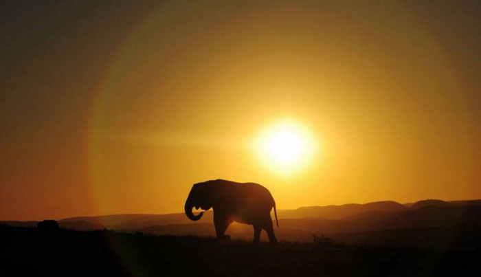 Африканские слоны питаются ночью, а днем прячутся от браконьеров, - исследование