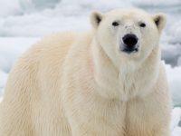 Белые медведи могут исчезнуть из-за потепления в Арктике