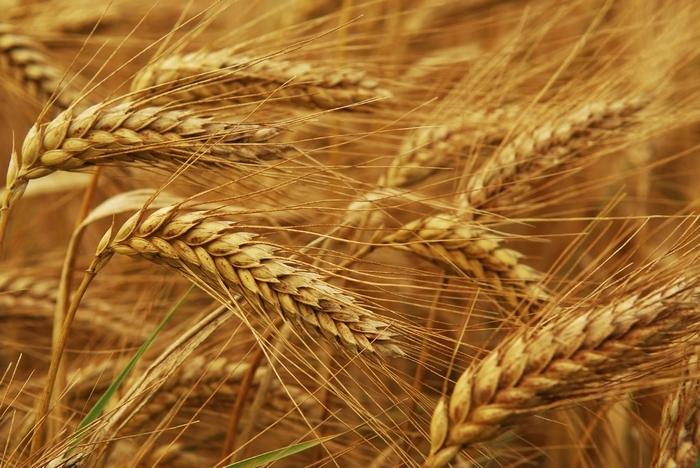 Бизнес идея: продажа гибридов семян зерновых культур