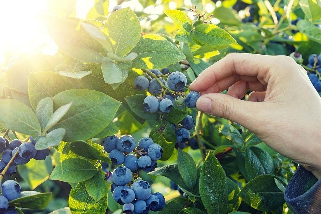 фото куста голубики голубика blueberry фотография fdlx.com