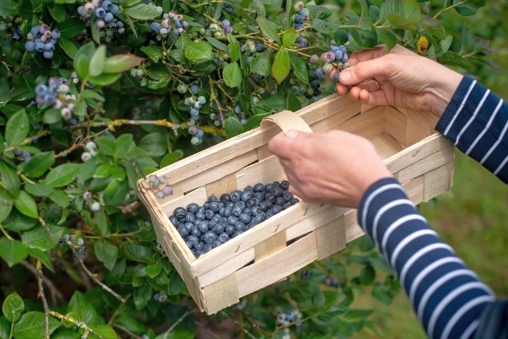 фото куста голубики голубика blueberry фотография