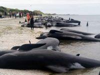Более 400 дельфинов-гринд выбросились на берег Новой Зеландии