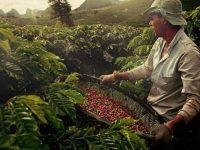 Бразилия снизила продажу кофейных зерен до минимума с 2006 года