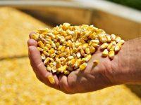 Бразильские фермеры убирают рекордный урожай кукурузы