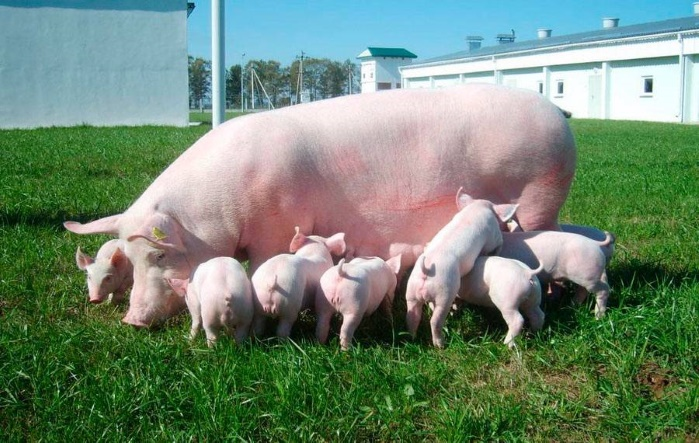 Цена свинины преодолела 8-летний рекорд