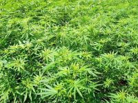 Что ждет США после легализации марихуаны в нескольких штатах