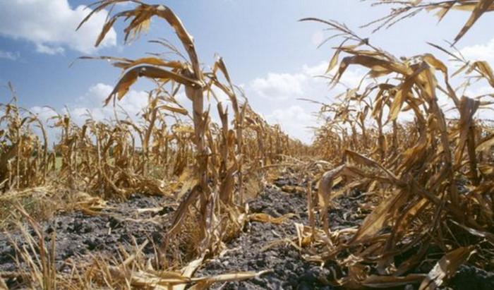 Глобальное потепление снизит урожайность на 50 процентов