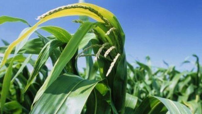 Шотландия запретила ГМО