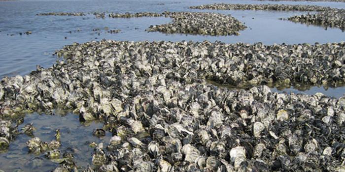 Изменение климата: в Северном море появились устрицы, сардины и анчоусы из теплых широт