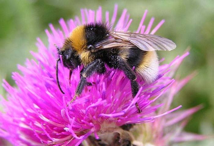 Изменения климата снизят популяцию шмелей и бабочек в Англии на 85%