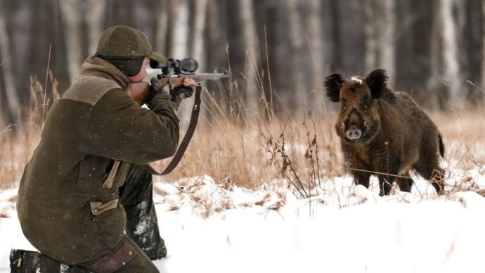 Кабан, парнокопытные, охотники, охота, сроки, отстрел