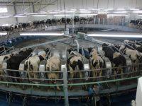 """Молочные войны: Минагропрод создаст кооперативы, чтобы получать """"европейское молоко"""""""