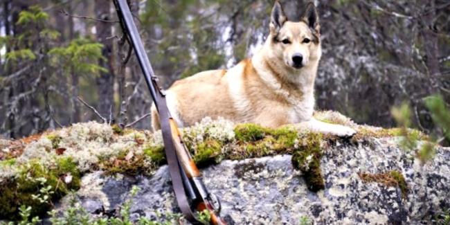 Охота, охотник, сезон, лимит, расселение