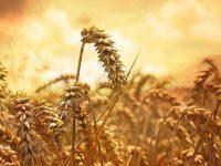 Благодаря сильному доллару Украина и Россия потеснили США на рынке пшеницы