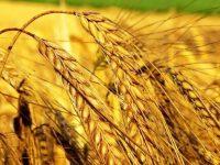 Россия обходит США и вырывается в лидеры на рынке зерна