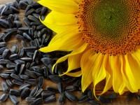 Бизнес идея: продажа семян подсолнечника