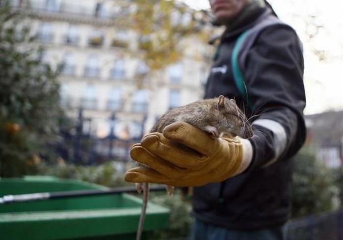 Столицу Франции атаковали полчища крыс