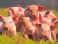 В России ввели запрет на украинскую свинину