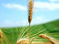 Ученые смогли втрое ускорить рост пшеницы, гороха и фасоли