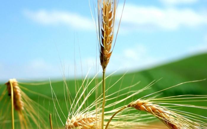 Ученые смогли втрое ускорить рост пшеницы и зеленого горошка