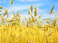 Украина сбивает цену на мировом рынке пшеницы, – Bloomberg