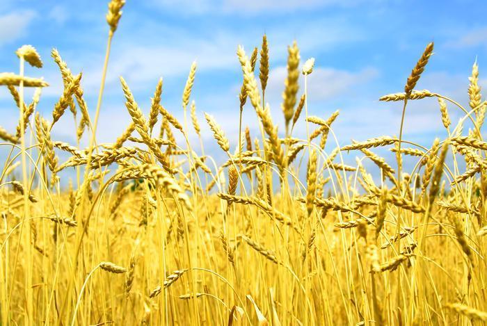 Украина сбивает цену на мировом рынке пшеницы, - Bloomberg