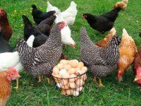 Украина заняла десятое место в топ-10 производителей яиц в мире