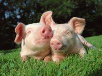 В Беларуси ввели ограничения на импорт свинины из Украины