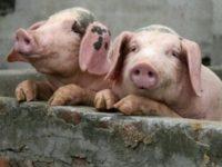 В Беларуси запретили импорт свинины из Черниговской области из-за чумы свиней