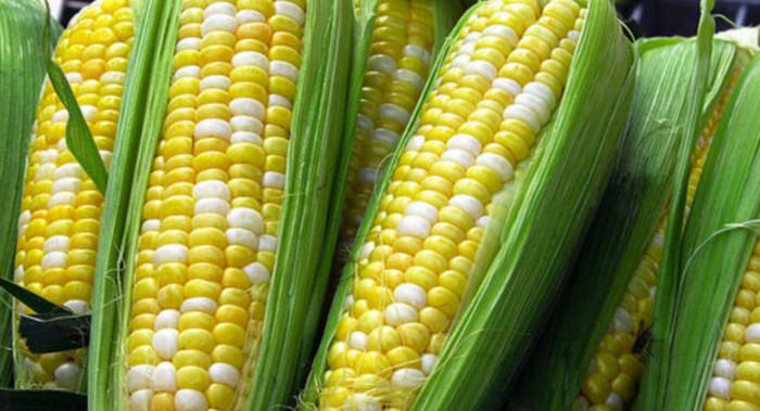 В Германии разрешено выращивание ГМО кукурузы