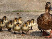 В Голландии уничтожили 190 тыс. уток, – последствия птичьего гриппа