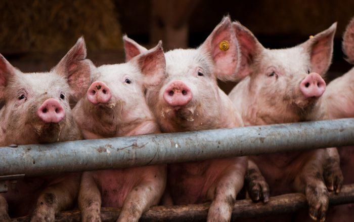 В Госпотребслужбе назвали причины распространения африканской чумы свиней