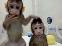 В Китае генетики впервые успешноклонировали обезьян