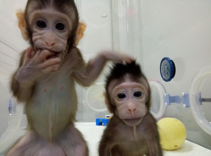 В Китае впервые успешноклонировали обезьян