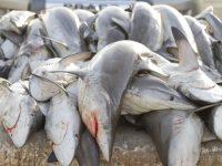 В Мексике на шоссе выбросили 300 мертвых акул
