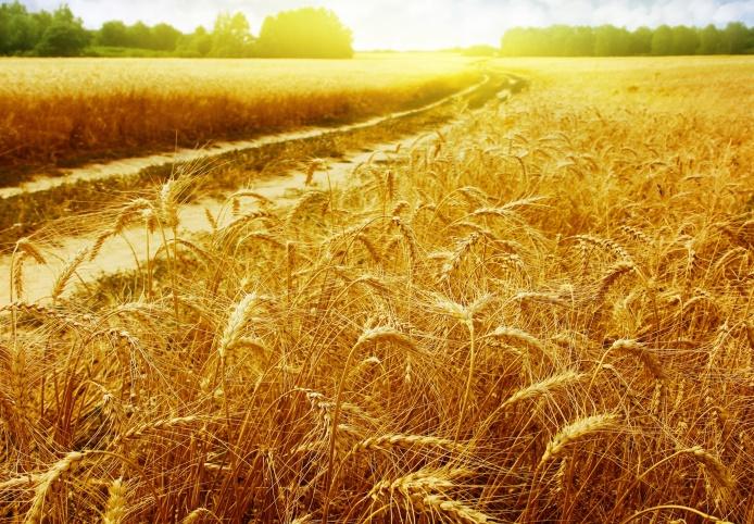 В Украине сокращаются запасы пшеницы
