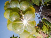 Виноделие Европы сталкивается с кризисом изменения климата