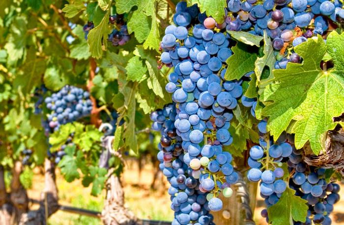 Виноделы Франции собрали наименьший урожай за последние 60 лет