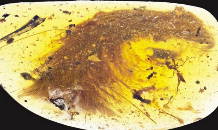 Хвост пернатого динозавра сохранился в куске янтаря