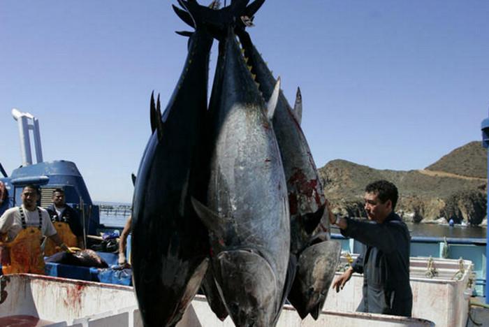 Япония превысила годовые нормы вылова тихоокеанского тунца