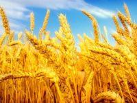 В 2016 году Россия соберет рекордный за всю историю урожай зерна, – Блумберг