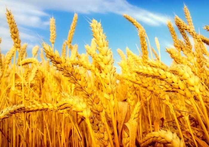 В 2016 году Россия соберет рекордный за всю историю урожай зерна, - Блумберг