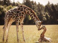 Жирафов внесли в список животных, которые находятся под угрозой вымирания