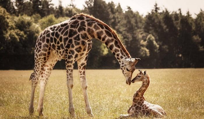 Жирафов внесли в список животных, который находятся под угрозой вымирания